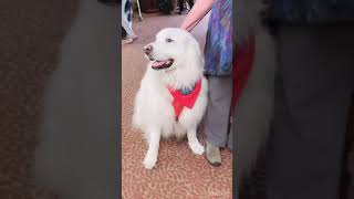 Great Pyrenees | Dog Breed | Patou