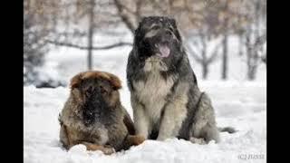 Кавказские овчарки