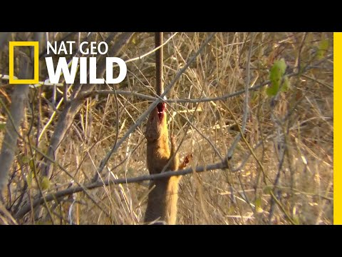 Watch a Snake-Eating Mongoose Swing From Its Prey | Nat Geo Wild