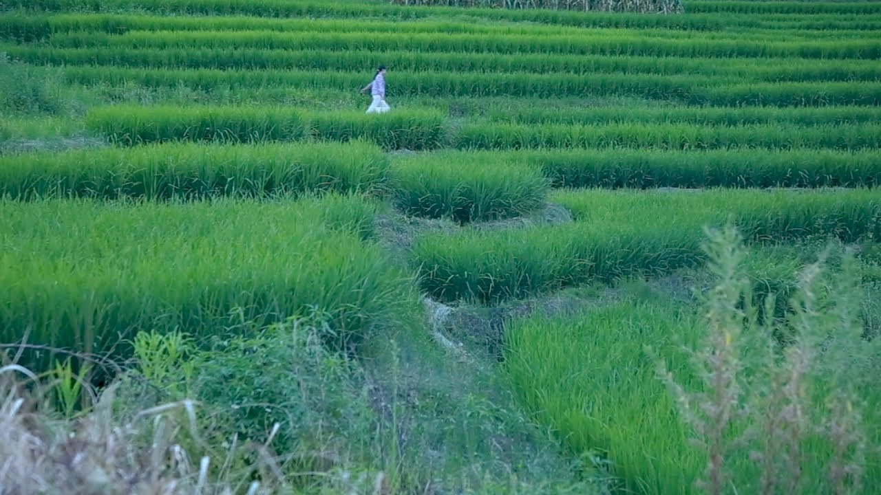 Download When the seedlings are heading, the snail is the most fertile禾苗抽穗之時,田螺最為肥美 ▎Lizhangliu Channel