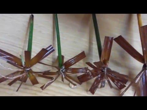 Como reproducir plantas de papiro- How to reproduce papyrus plant
