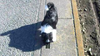 珍犬チベタン、テリアの4ヶ月の可愛い仔犬.