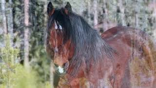 Wild Horses in Alberta, in the New Year 2019
