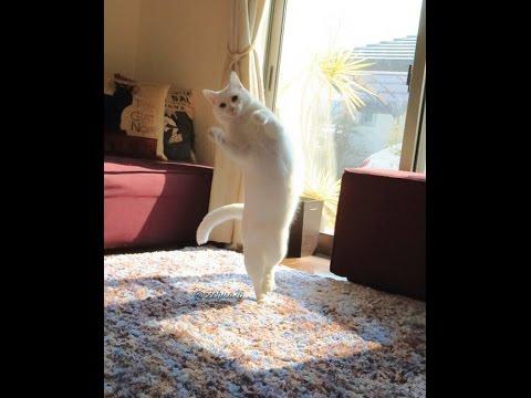 Video Kucing Lucu Menari Bikin Tertawa Terbahak Bahak !!! UNYU BANGET