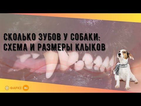 Сколько зубов у собаки: схема и размеры клыков