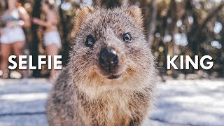 Quokkas: The Happiest Animals on the Internet
