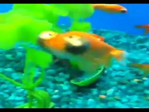 Derp Fish (VINE)