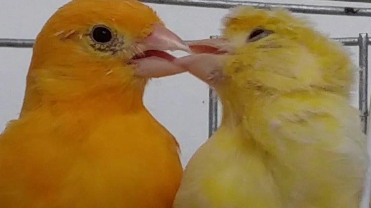 تعرف على طريقة تزاوج طيور الكناري بجميع مراحلها مع عماد العرفاوي Youtube