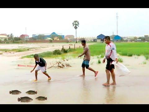 Catch Fishes in The Rain in Cambodia - Net Fishing in Rice Field