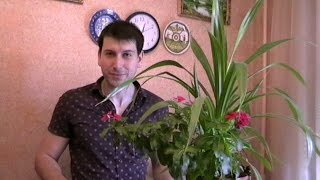 Катарантус - цветы для сада и квартиры - ЛЮБИМЫЕ ЦВЕТЫ (  Артём Панарин )