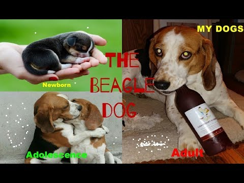 The Beagle Dog★ From Newborn To Adult Years Old ★ Transformation Through The Years [HD]