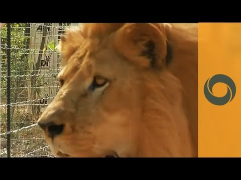 South Africa: To Let Circus Lions Live Like Lions