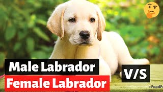 Male Labrador or Female Labrador: Which one should you get?