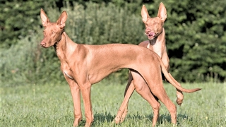 Pharaoh Hound (UK: Pharaoh Hound) is a site hound dog species nativ...