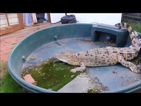 Pet Crocodiles - Jilfia the Salty (July 2017)