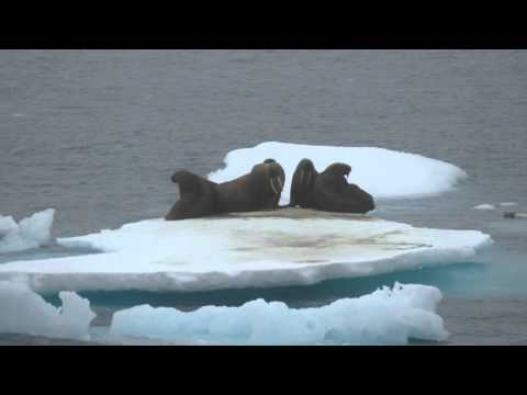 Walruses in the N  Chukchi Sea 8-18-15