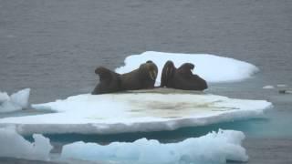 Walruses in the N  Chukchi Sea 8-18-15