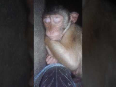 Monyet Lagi Asik Tidur.di Ganggu.monyet Pun Marah