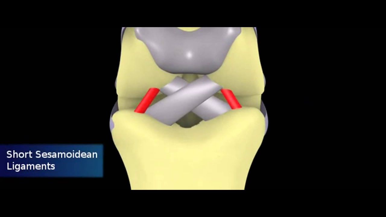 Equine Distal Forelimb Tendons And Ligaments Youtube