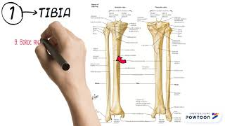 Pie de y el de huesos la nombres pierna