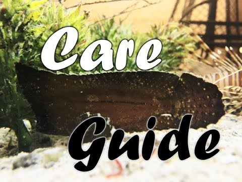 Care Guide: Leaf Fish & Cockatoo Waspfish
