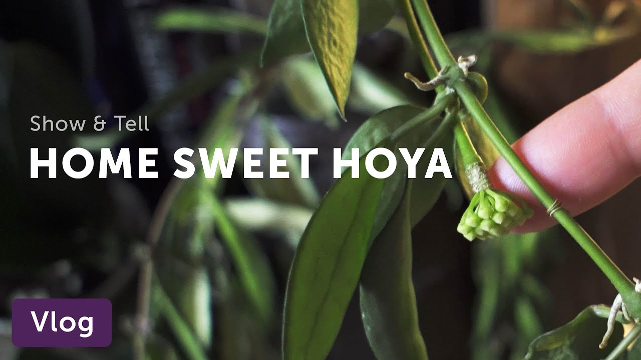 The Ultimate Hoya Care Guide Homestead Brooklyn