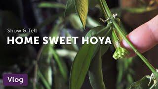 Hoya Home Tour — Vlog 008