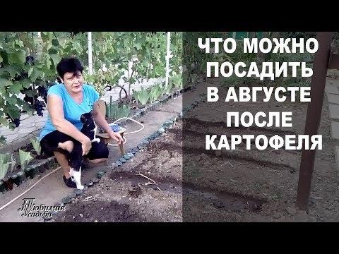 Как я буду использовать пустую землю после картофеля  Что можно посадить в августе | картофеля | сидераты | посадить | открытом | августе | урожай | сажать | огород | грунте | после