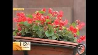 видео Как сажать розы, купленные в коробке. Сайт