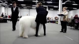 Южнорусская овчарка в-ка