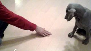 """3 month 1 week puppy, Weimaraner Ruby learns her first """"Lay down"""". ..."""