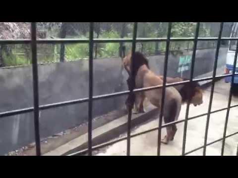 Lion Safari at Vandaloor Zoo