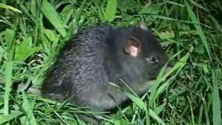 Black rat, Rattus rattus, in Ons island