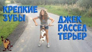 ДЖЕК РАССЕЛ ТЕРЬЕР КРЕПКИЕ ЗУБЫ