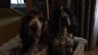 English Cocker Spaniels Daimler & Benz Playing And Went To Grooming
