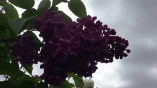 видео Сирень Primrose