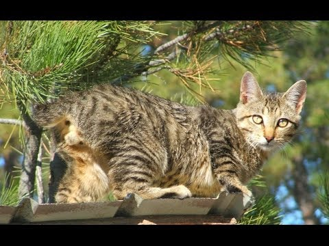Animal Planet :  Cats 101 ~ American Bobtail