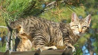 Animal Planet :  Cats 101 ~ American Bobtail