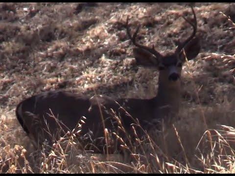 Blacktail Deer in Santa Cruz County