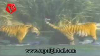 Тигр против Медведя. Смертельная драка HD