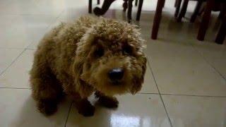 Cảm động chú chó Poodle bị chủ mắng