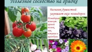 видео Лучшие соседи для томатов на грядке