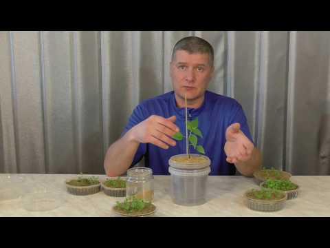 Как бороться с плесенью при выращивании рассады | рассада | плесень | огород | дача | сад