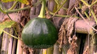 Pumpkin cultivation in Ziro Valley, India