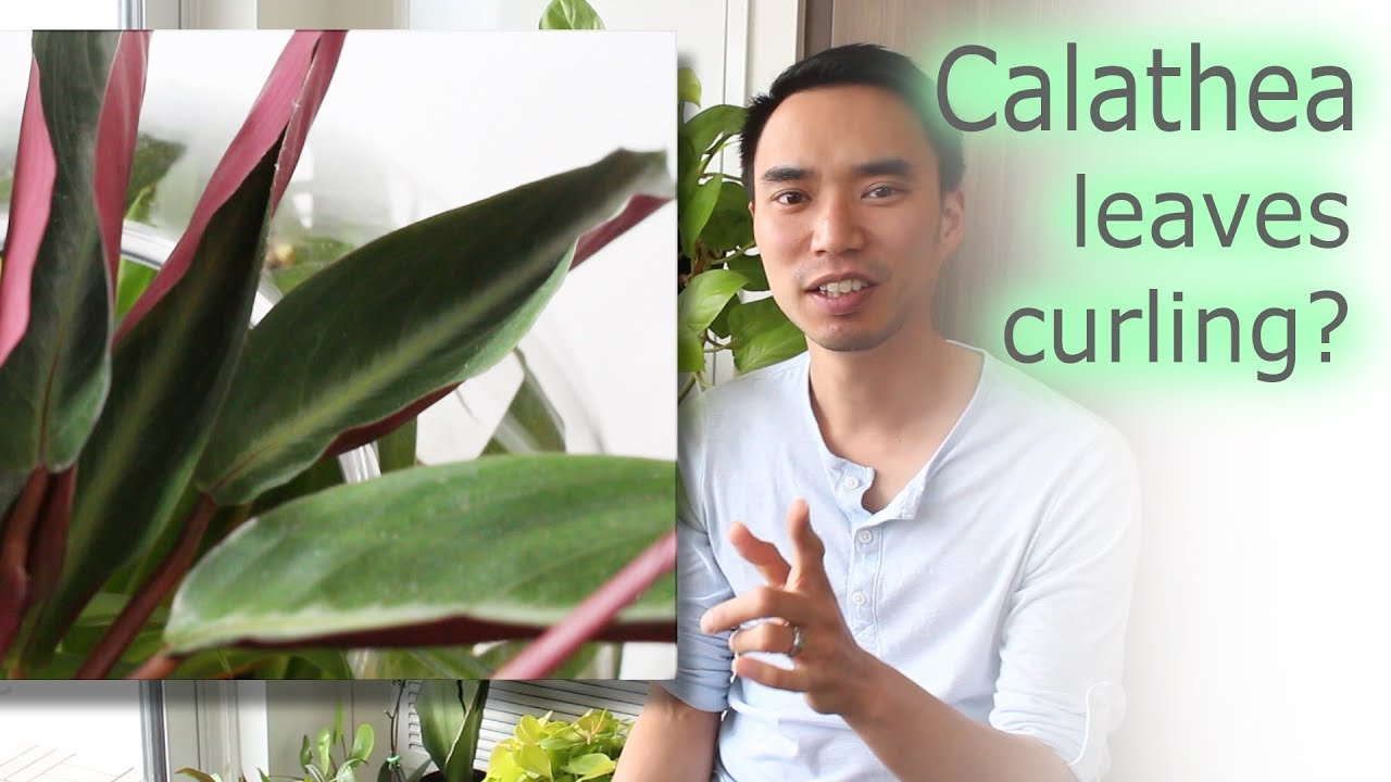 How To Fix Calathea Leaf Curling And General Care Youtube