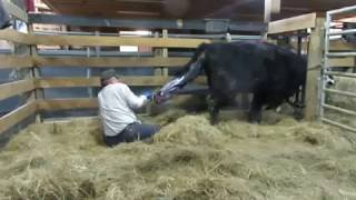 One Man Calf Pulling