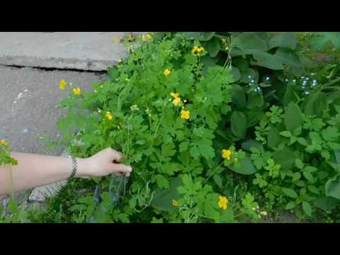 Чистотел. Выращивание в саду целебных веничков.