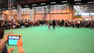 Crufts 2014, English Springer Spaniel Best Bitch
