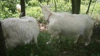 Яловая коза. Часть2. А вдруг?..