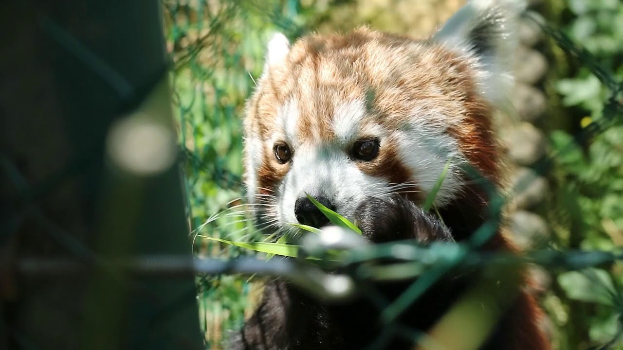 Red Pandas Lim And Pim At Zoo Linz Austria Youtube